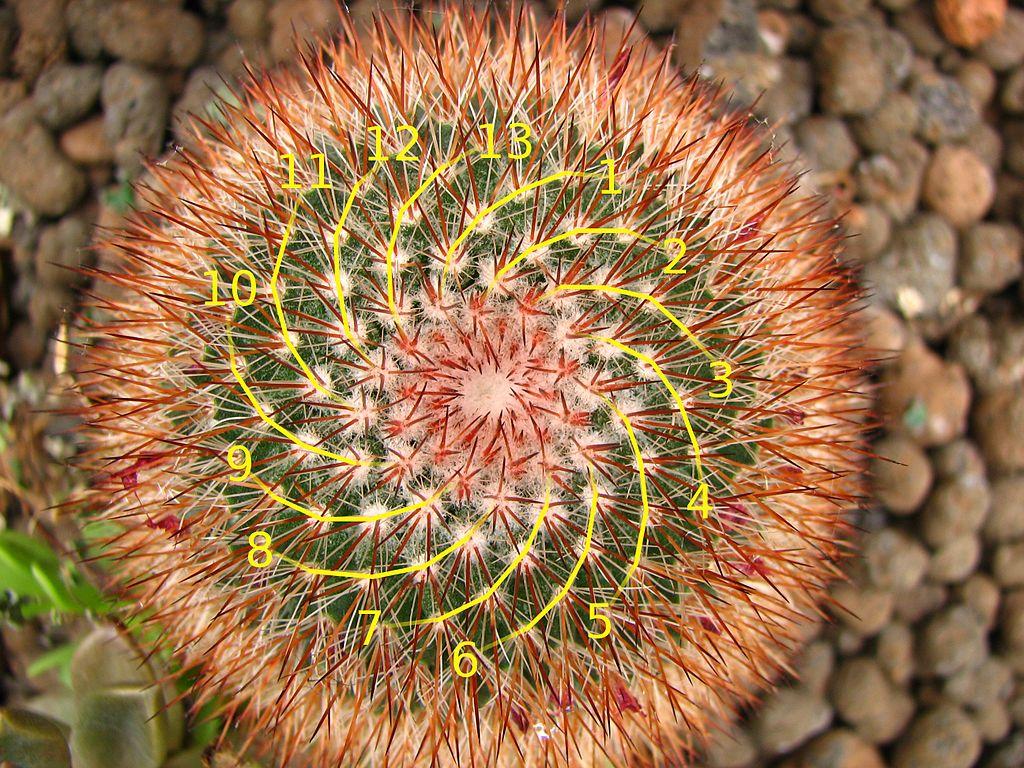 Cactus with Fibonacci 13-spiral
