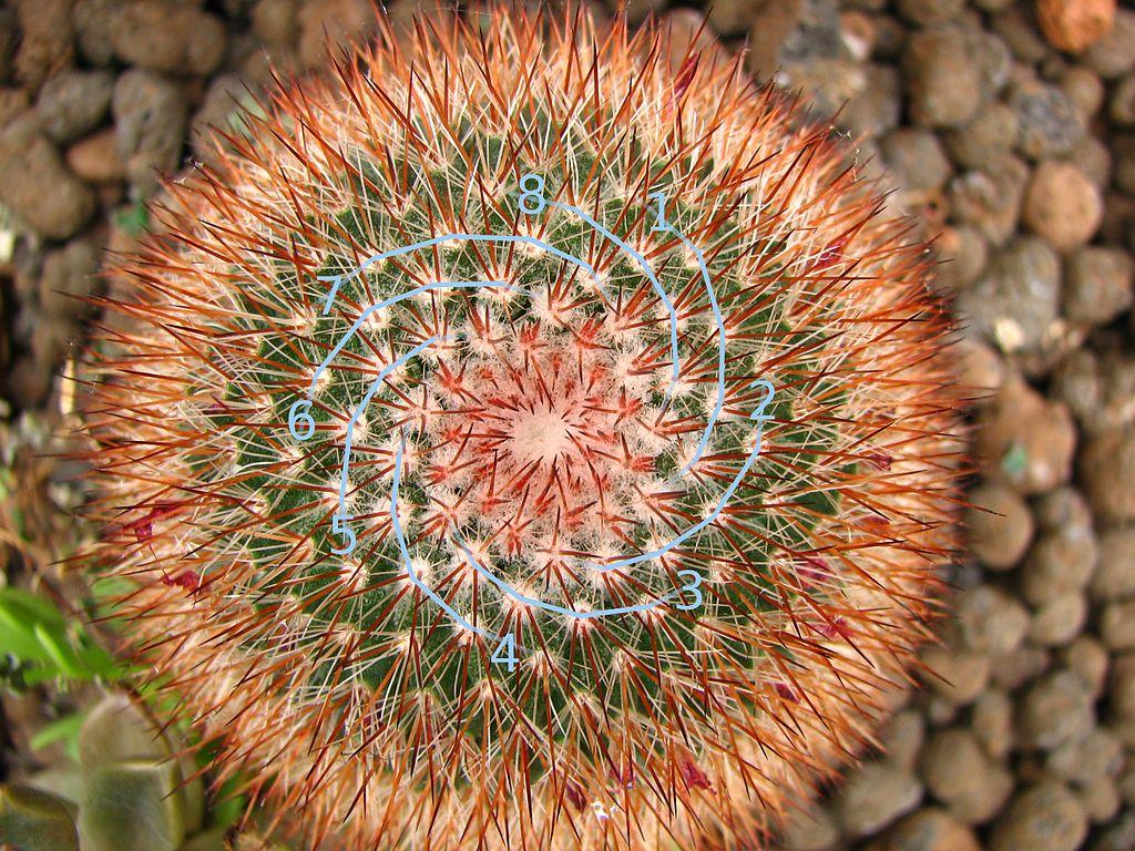 Cactus with Fibonacci 8-spiral