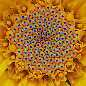 Chamomile flower with Fibonacci spirals